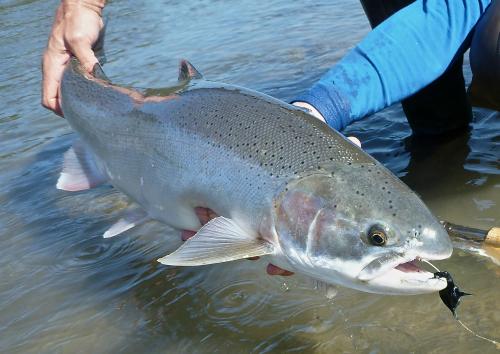 Skeena River BC, Steelhead